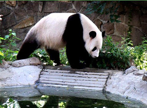 Panda Bear at Beijing Zoo